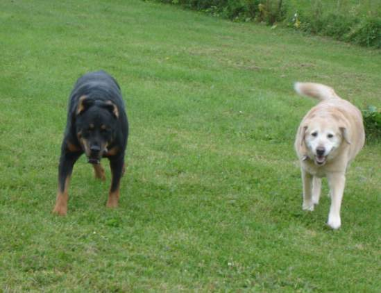 Ivy (Rottweiler) and Amber (Yellow Lab)