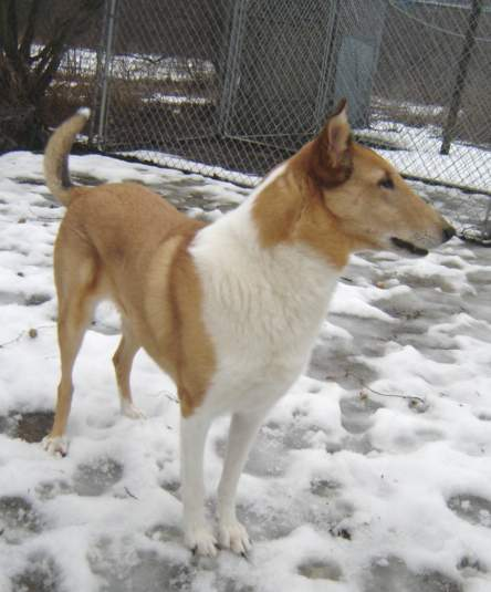 Evan; Smooth Collie
