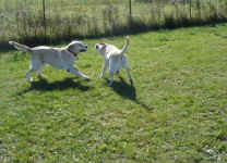 mac-and-norman-yellow-labradors-oct-09-4.jpg (35521 bytes)