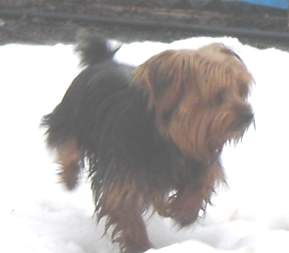 Charlie; Yorkshire Terrier