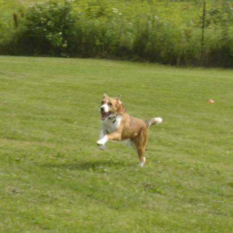 Riley (mixed breed) enjoying a good run!