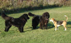 toby-beagle-and-ike-and-sammy-newfoundlands-oct-09-1.jpg (31657 bytes)