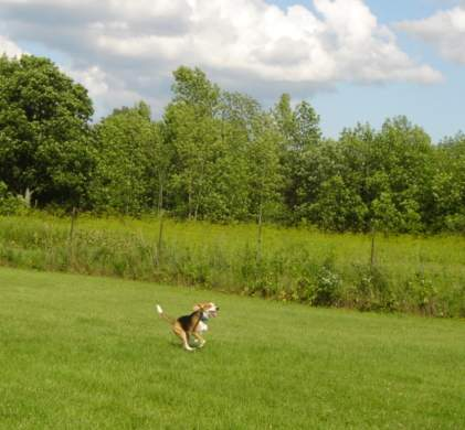 Beagle running in the fenced play area.