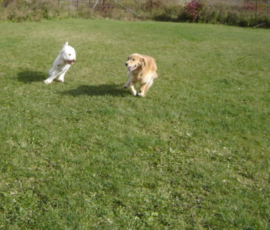 Sugar playing with Golden Retriever, Willow
